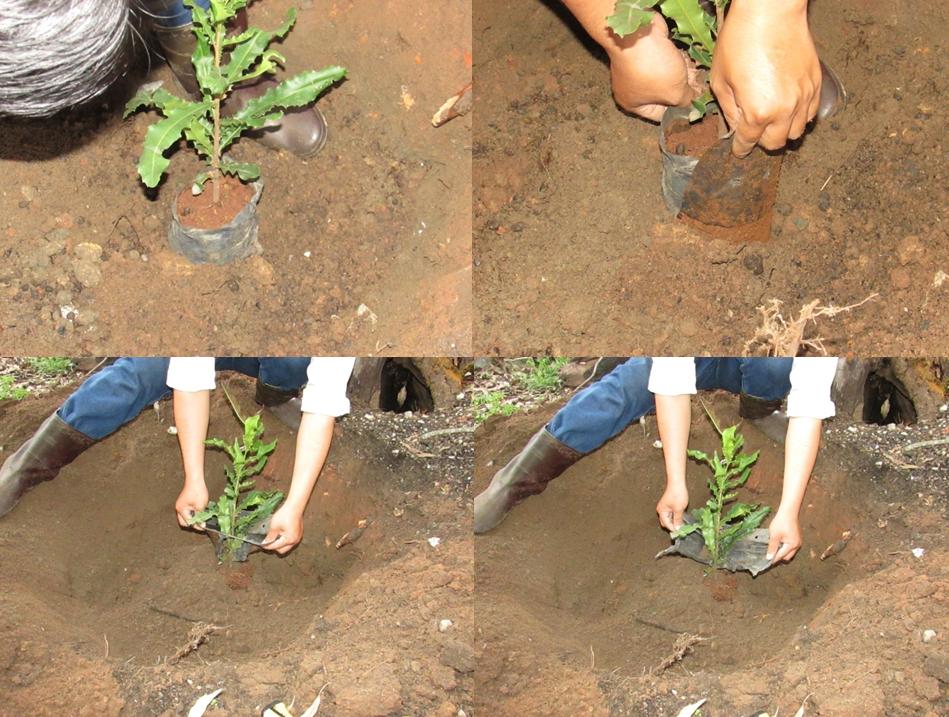 Phương pháp trồng cây mắc ca