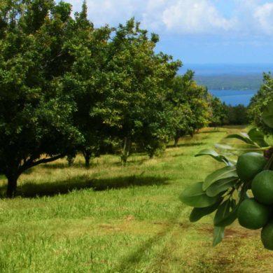 Hướng dẫn tạm thời kỹ thuật nhân giống, trồng, chăm sóc, thu hái quả và sơ chế hạt cây mắc ca.