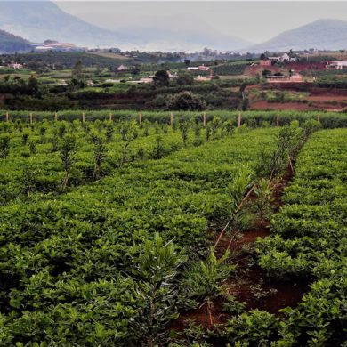 Cây Mắc ca sẽ được trồng trên địa bàn tỉnh Đắk Nông