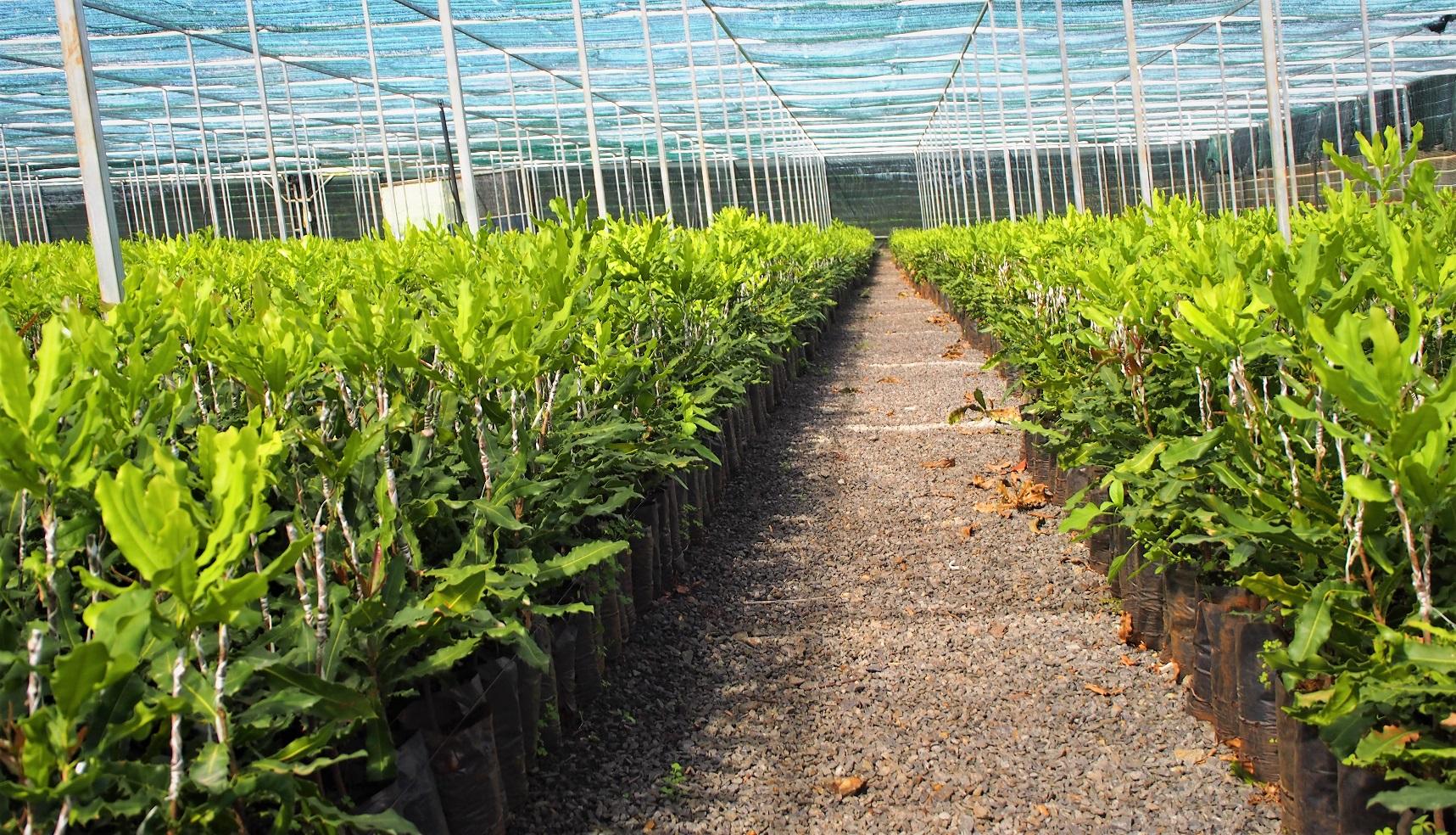 Hình ảnh cây giống mắc ca mới được ghép tại Vườn ươm Công ty Him Lam Mắc Ca