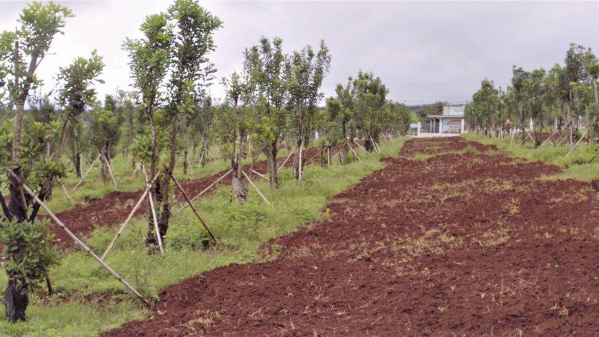 Thăm vườn mắc ca đầu dòng ở Tu Tra