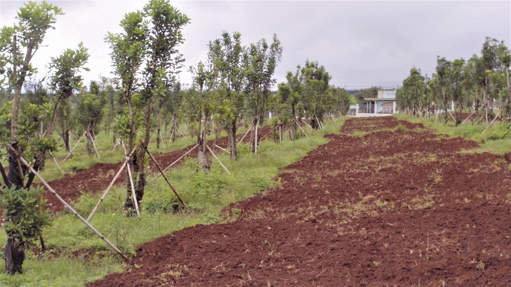 Vườn cây đầu dòng đã được di thực về Vườn ươm của Công ty Him Lam Mắc Ca
