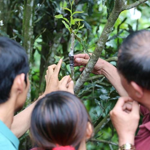Nông dân Tây Nguyên học cách ghép giống cây mắc-ca.